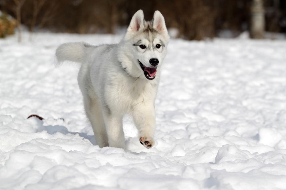 husky,siberien,astuce,eleveur,race,vaccine,puce