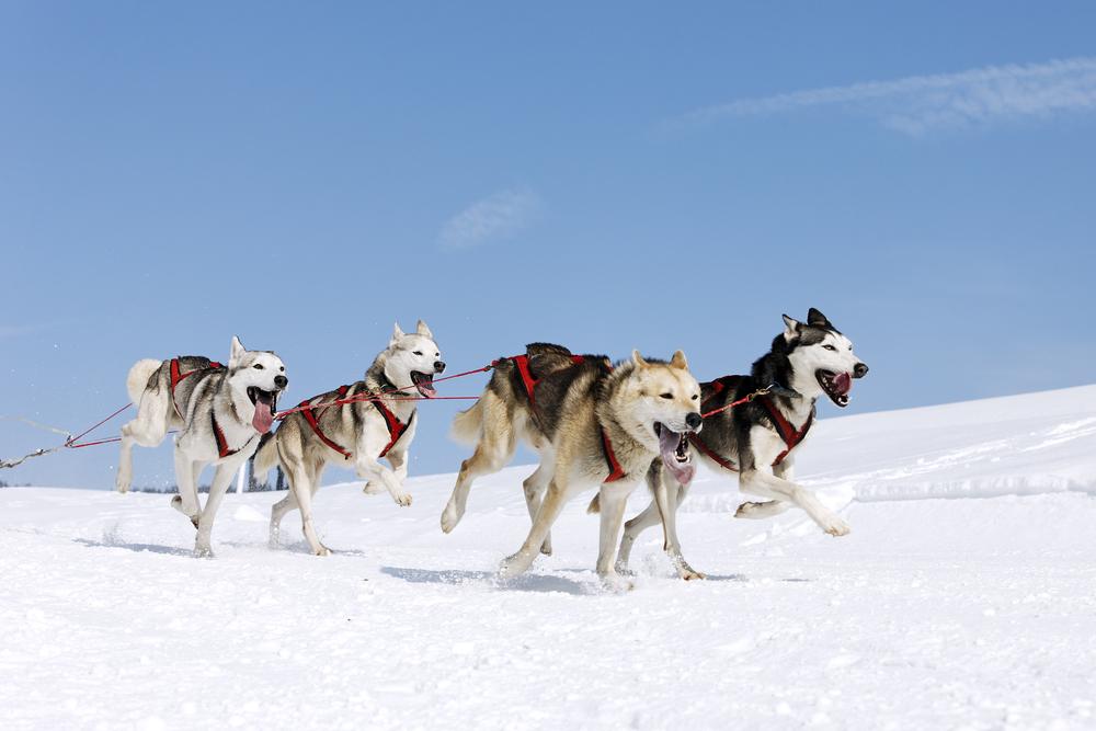 husky,siberien,besoins,terrain,courir