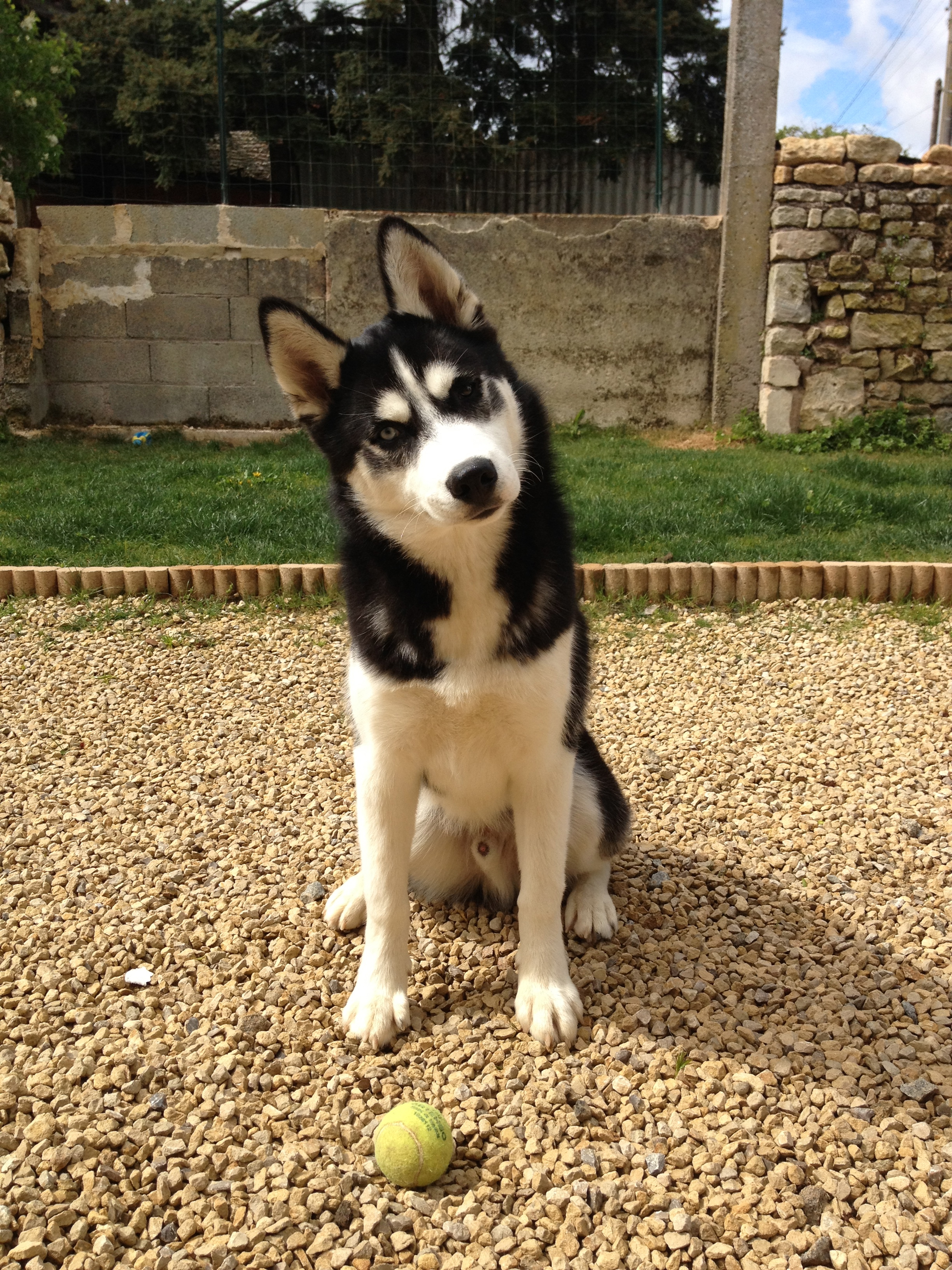 husky,siberien,dressage,assis,fugue