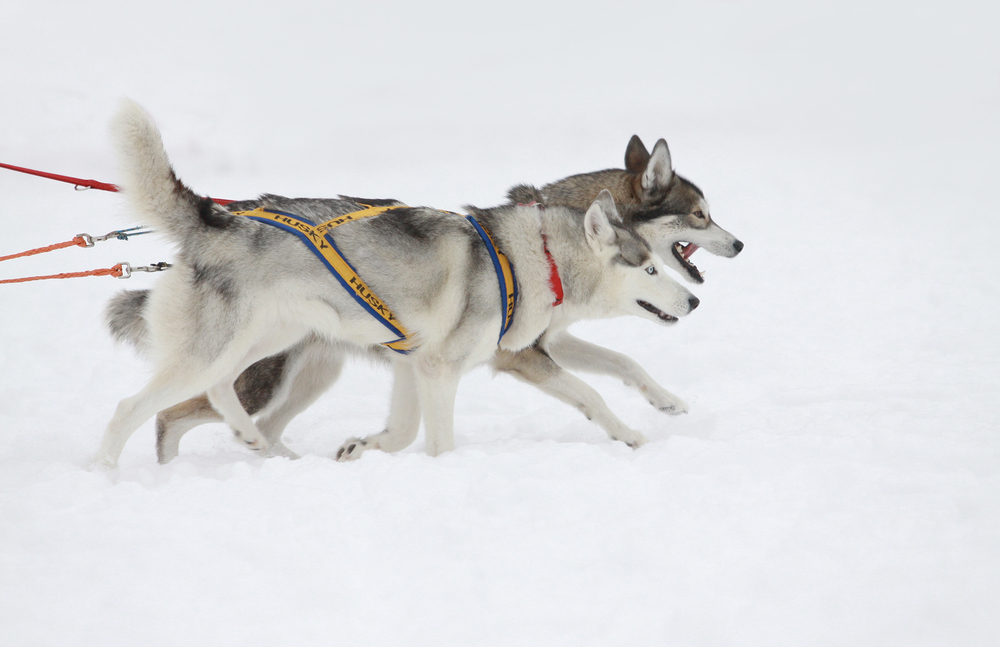 instinct,husky,siberien