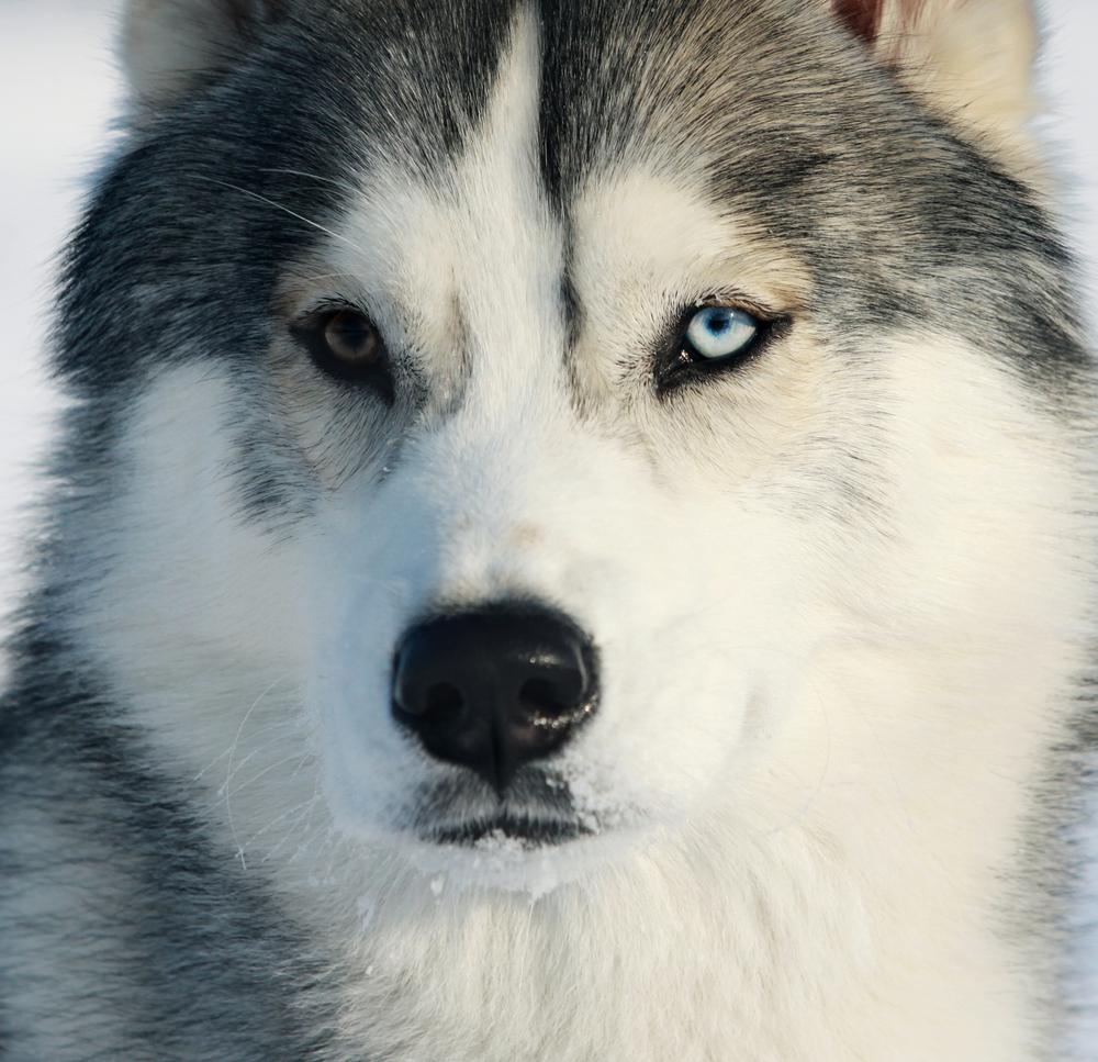 race,Husky,siberien,musher,traineau,chien,yeux,bleu,vairons,lignée